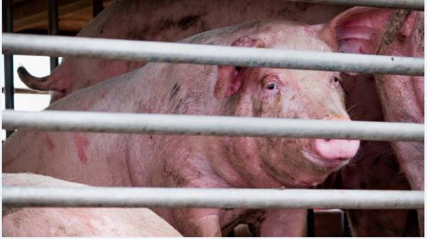 یک ویروس جدید آنفلوآنزا خوکی به نام« جی۴یی اِی- اچ۱ان۱» با پتانسیل همه گیری جهانی در چین شناسایی شد